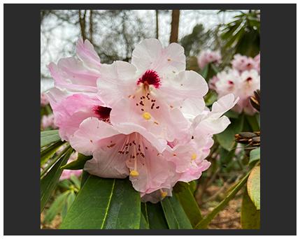 rhododendron flower photo