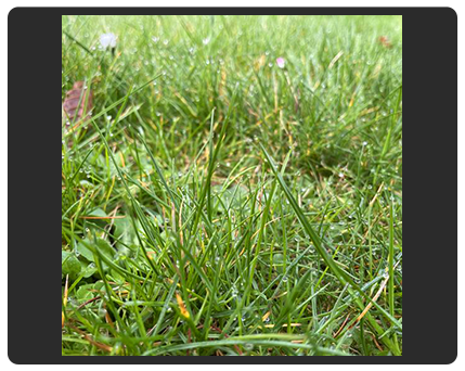 grass and dew photo