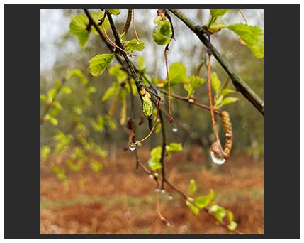 catkins in rain